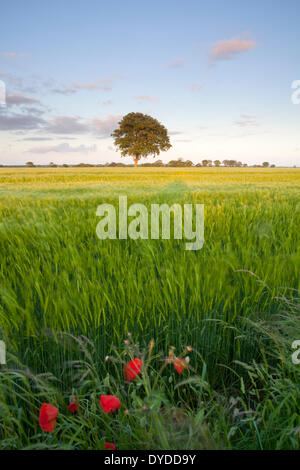 A barley field in the Norfolk countryside close to the village of Potter Heigham. - Stock Photo