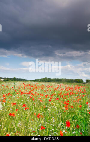 A summer poppy field beneath a stormy sky in the Norfolk countryside. - Stock Photo