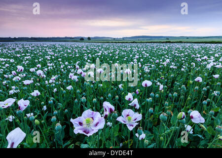 Sunrise over a field of opium poppies near Morden. - Stock Photo