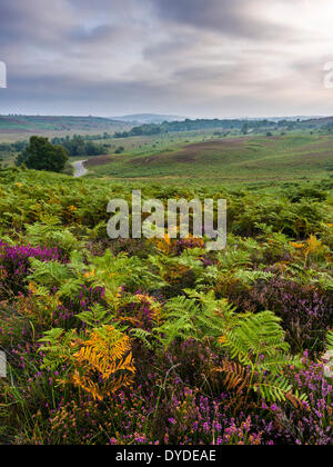 Heather and bracken at Rockford Common in the New Forest National Park. - Stock Photo