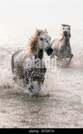 Camargue white horses galloping through water.. - Stock Photo