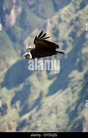 A condor gliding majestically by Mirador Cruz del Condor in Colca Canyon north of Arequipa. - Stock Photo
