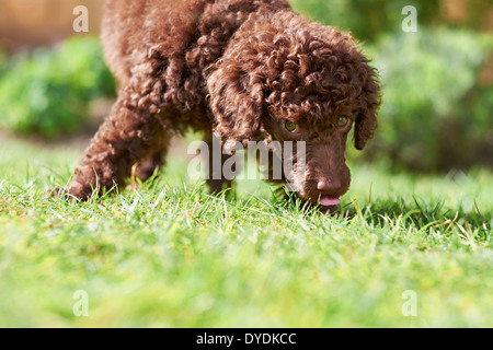 A miniature poodle puppy playing on the grass in the garden. - Stock Photo