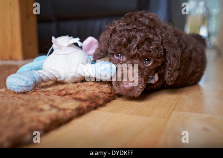 A playful miniature poodle puppy with a soft chew. - Stock Photo