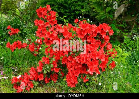 Azalea japonica in bloom in a garden. - Stock Photo