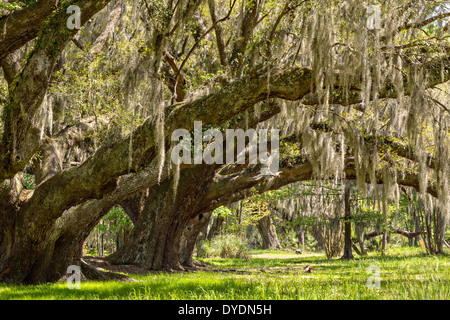 Centuries old Live Oak trees covered with spanish moss at Magnolia Plantation April 10, 2014 in Charleston, SC. - Stock Photo