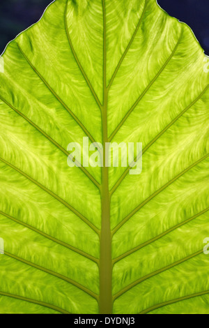A translucent leaf lit from behind by sunlight - Stock Photo