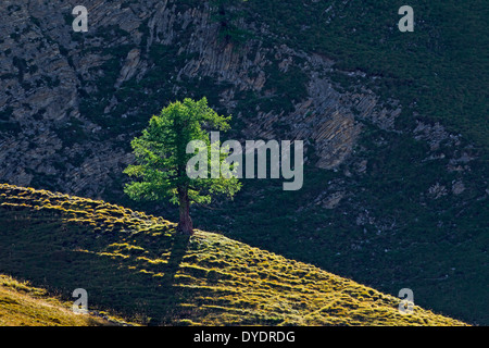 Common larch / European larch (Larix decidua) single tree growing on mountain slope in the Alpine mountains, Alps - Stock Photo