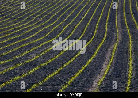 Rows of maize / corn (Zea mays) seedlings growing in field in spring - Stock Photo
