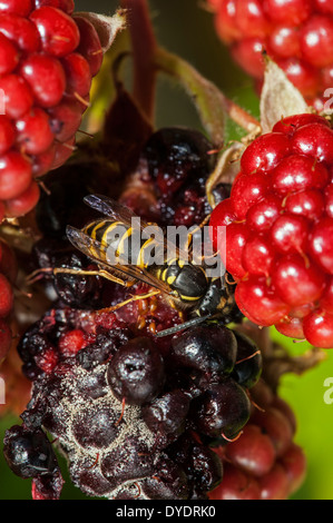 Common wasp (Vespula vulgaris) feeding on ripe berries of blackberry bush (Rubus cultivar) in garden - Stock Photo