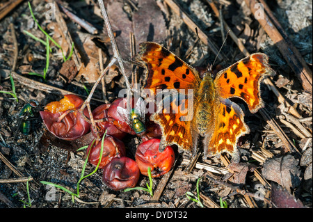 Comma butterfly (Polygonia c-album) and greenbottle flies (Lucilia caesar) feeding on rotten berries of rowan / - Stock Photo