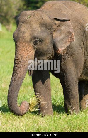 Wild Elephants in Yala National Park, Sri Lanka 13 - Stock Photo