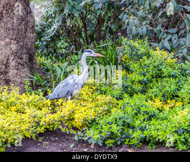 Grey Heron, Ardea cinerea, in St. James's Park, London, UK - Stock Photo