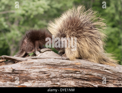 Porcupine baby and mom - Stock Photo