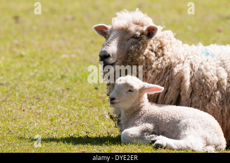 Ewe and young spring lamb lying together in a field shortly after being born. - Stock Photo