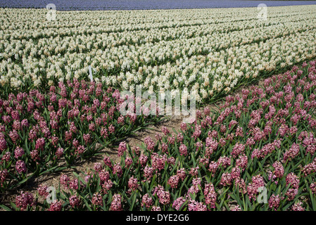 rows of hyacinths on flowerfield in the Netherlands - Stock Photo