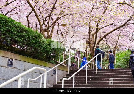 Pink cherry blossoms in downtown Vancouver by the Burrard Street Skytrain station. Akebono cherry trees in Vancouver - Stock Photo