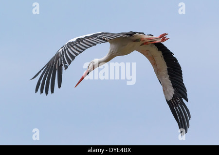 A White Stork (Ciconia ciconia) flies over Lac de Serre Ponçon in the French Alps - Stock Photo
