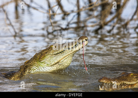 Nile crocodiles (Crocodylus niloticus) eating at Baringo Lake