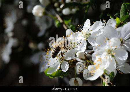 bees_on blossoms - 20 March 2014 - Stock Photo