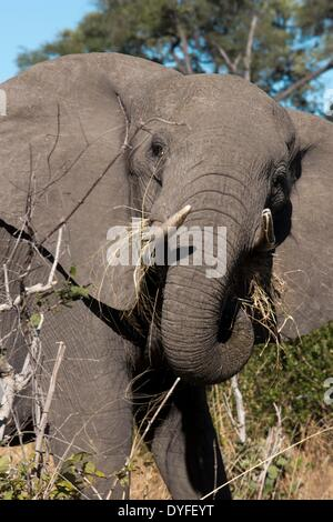 A copy of adult elephant walks near Savute Elephant Camp by Orient Express in Botswna in Chobe National Park . The - Stock Photo