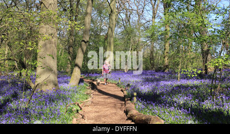 Hatchlands, Surrey, England, UK. 16th April 2014. A man walks his dog through the bluebells in this woodland near - Stock Photo
