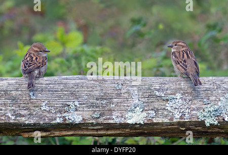 Pair Of Female House Sparrows- Passer domesticus Perched On A Bench, Spring, Uk. - Stock Photo