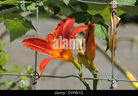 Lily Daylily growing thru fence - Stock Photo