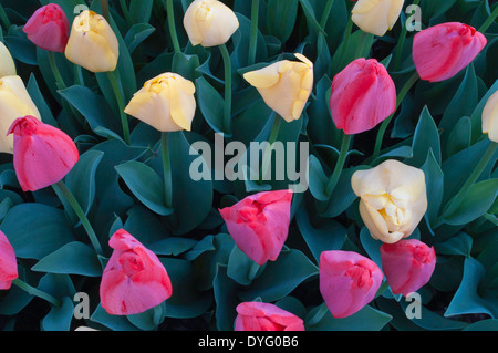 Closed tulips with morning dew - Stock Photo