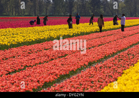 Keukenhof, Lisse, 16 April 2014. Tulip fields outside Keukenhof. The flower displays at Keukenhof, also known as - Stock Photo