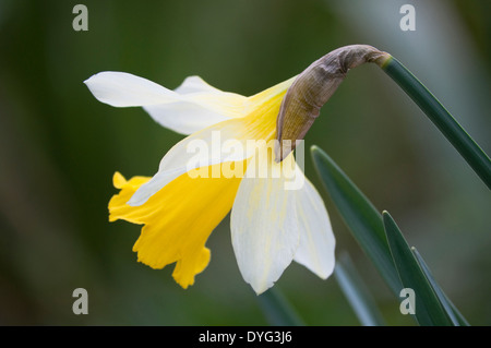 Wild Daffodil; narcissus pseudonarcissus (close up). Creamy outer petals, with yellow trumpet growing in a woodland - Stock Photo