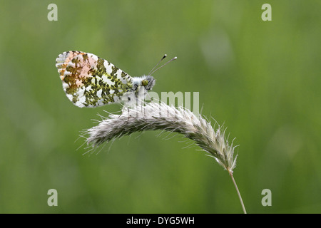 Orange Tip Butterfly male, Anthocharis cardamines, resting on a grass stem - Stock Photo