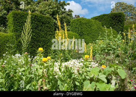 Verbascum olympicum (tall yellow mullein) with Yellow Thistles, shown against topiary yew hedging at Great Dixter, - Stock Photo