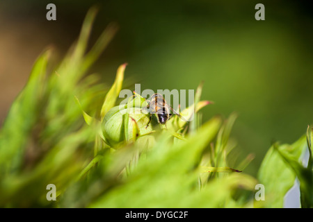 A honey bee resting on a plant. - Stock Photo