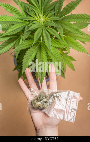 Cannabis plant and hand with bag of dried marijuana buds. - Stock Photo