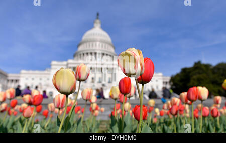 Washington, DC, USA. 17th Apr, 2014. Visitors view tulips in blossom in front of the Capitol building in Washington, - Stock Photo
