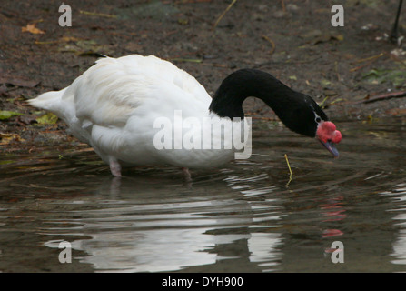South American Black-necked Swan (Cygnus melanocoryphus) - Stock Photo