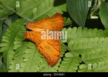 Malay Cruiser Butterfly (Vidula dejone erotella, Vindula arsinoe)  posing with wings open - Stock Photo