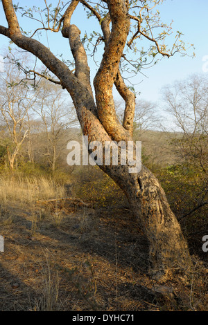 Scratch marks from a Bengal Tiger (Panthera tigris tigris) on a tree. - Stock Photo