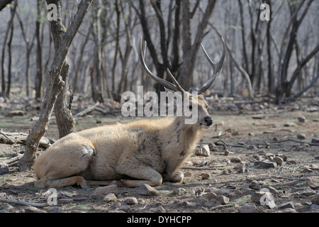Sambar deer (Rusa unicolor) lying on the ground in the forest. - Stock Photo