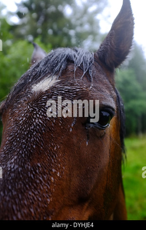Close up of horse head during rain - Stock Photo