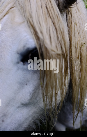 Close up of a white horse head in the rain - Stock Photo