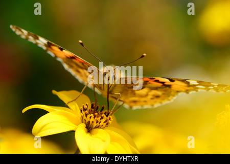 Painted Lady Butterfly, Vanessa cardui, Sucking nectar - Stock Photo