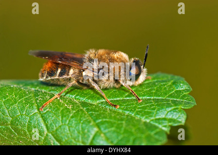 Wild bee resting on a leaf - Stock Photo
