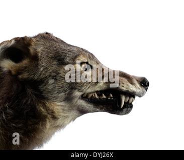Studio shot of a Wolf Growling - Stock Photo