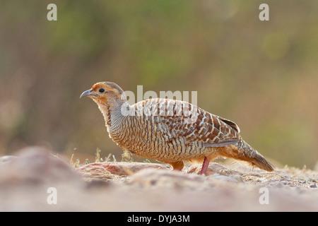 Grey Francolin or Grey Partridge (Francolinus  pondicerianus) - Stock Photo
