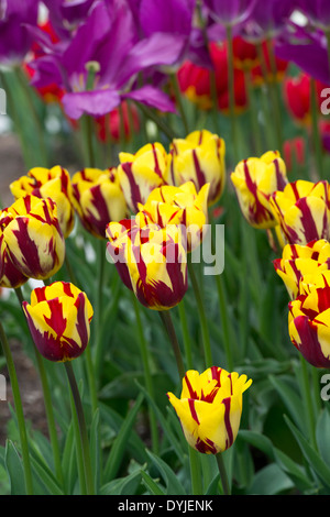 Tulipa. Triumph Tulip 'helmar' flowers - Stock Photo