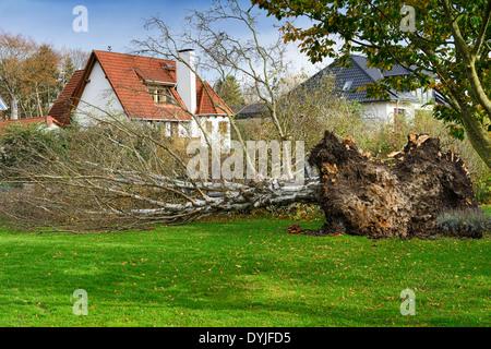 Umgestürzte Birke nach dem Orkantief Christian in Pönitz am See, Schleswig-Holstein, Deutschland, Europa - Stock Photo