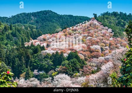 Yoshino, Japan cherry blossoms on the hillside. - Stock Photo