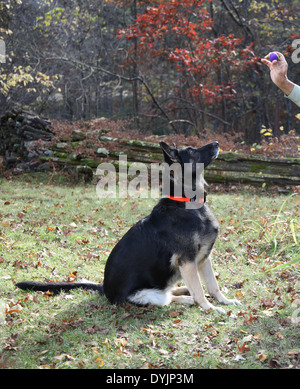 There is no more enjoyable autumn afternoon than playing fetch with Dad!  Belle waits patiently for the stick to - Stock Photo